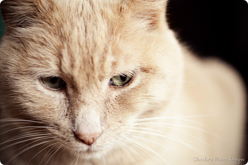 minneapolis pet photographer, chocolate moose images, cat portrait, pets