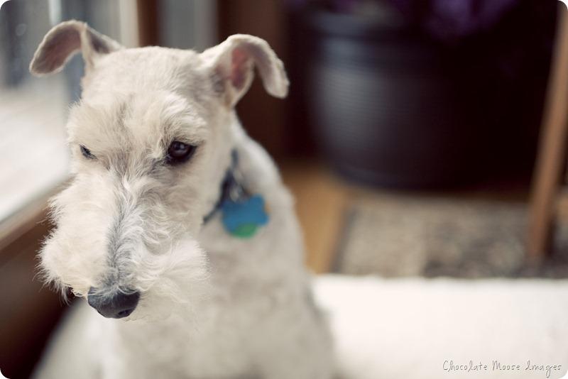 roxie, pet portrait, dog photography, chocolate moose images