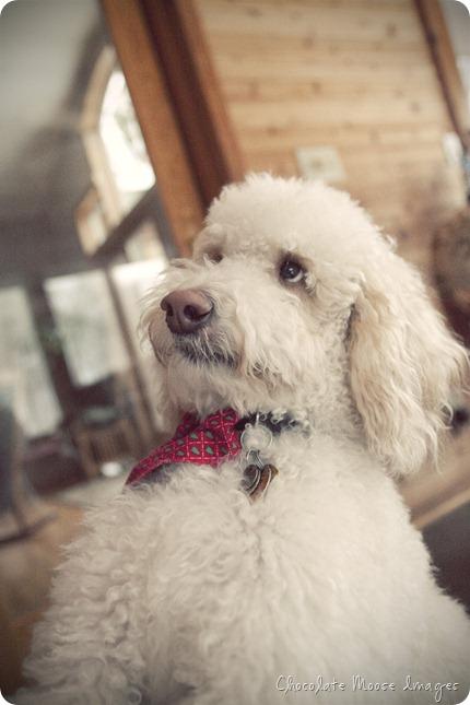 pet portrait photography, chocolate moose images, wisconsin pet portraits, golden doodle