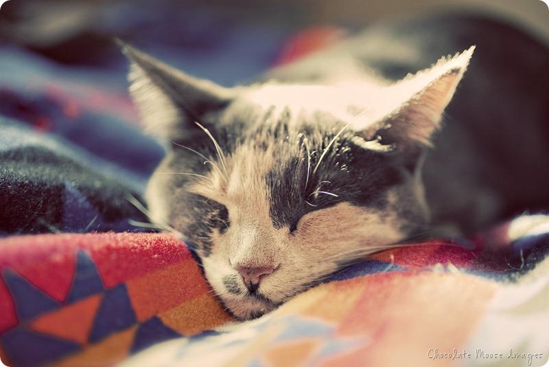 cat portrait, chocolate moose images, minneapolis pet portrait photographer