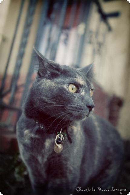 pet portrait photography, chocolate moose images, cats, outdoor cat, cat on a leash, spring