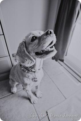 pet portrait photography, chocolate moose images, wisconsin pet portraits, cocker spaniel, 10th birthday