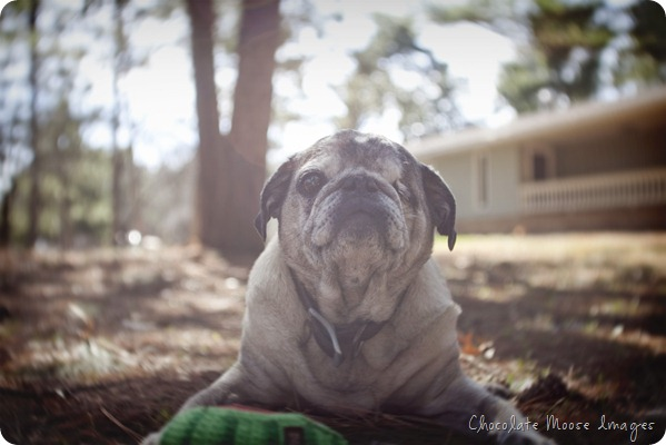 pet portrait photography, chocolate moose images, wisconsin pet portraits, pug, 10th birthday