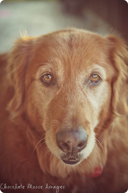 shelby, golden retriever, chocolate moose images, minneapoli pet portrait photographer, dog photography, family photos