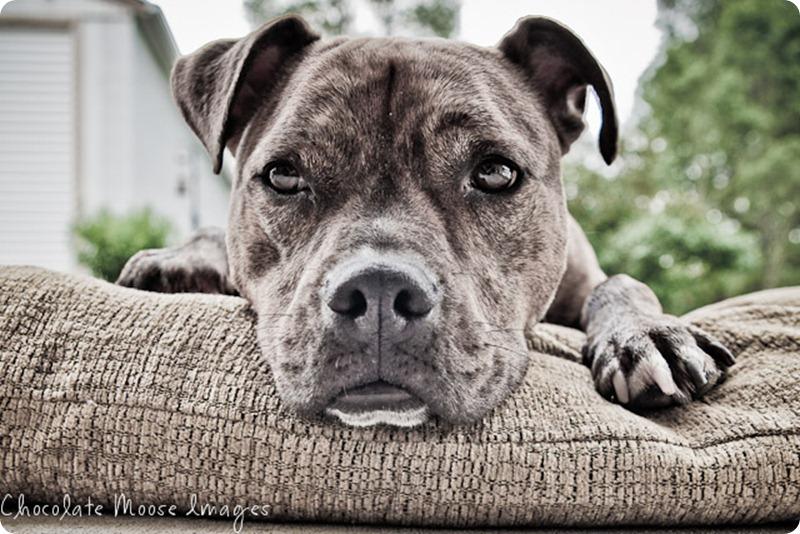pet portrait photography, minneapolis pet portrait photographer, dog, zeus, cat and dog best friends