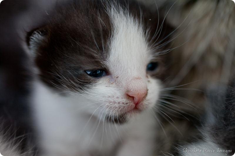 chocolate moose images, pet portrait photography, minneapolis, iowa pet portraits, kittens, cat portraits, farm cats