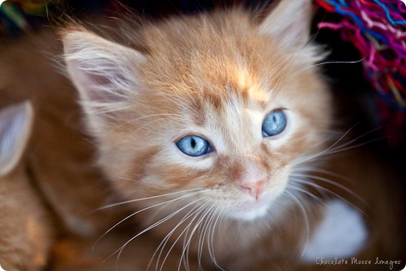 orange kittens, minneapolis pet photographer, wisconsin pet photographer, chocolate moose images, cat portrait, pet portraits
