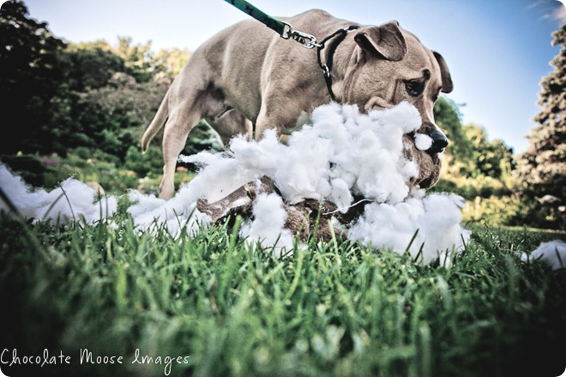 minneapolis pet photographer, chocolate moose images, pit bull, dog portrait, minneapolis park