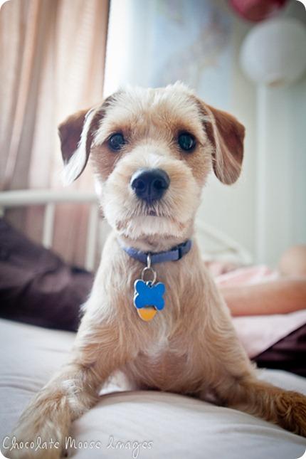 chocolate moose images, minneaoplis pet portrait photographer, dog portraits, iowa city pets, puppy photos