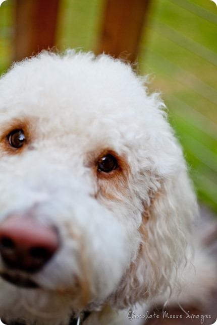 chocolate moose images, minneapolis pet portrait photographer, dog portraits, rocky, golden-doodle, rocky raccoon