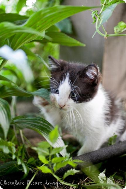chocolate moose images, kitten, iowa, minneapolis pet photographer, pet portraits, cat photography
