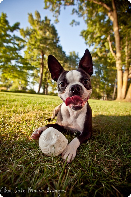 chocolate moose images, boston terrier, minneapolis pet photographer, dog portraits