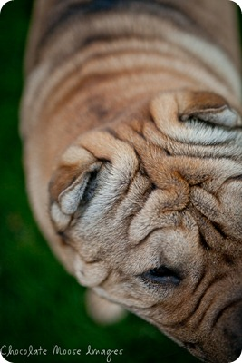 shar pei, chocolate moose images, minneapolis pet photographer, wrinkles, dog portrait, pet portraits
