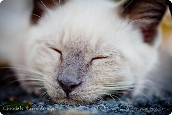 chocolate moose images, minneapolis pet photographer, kitties, white kittens, iowa