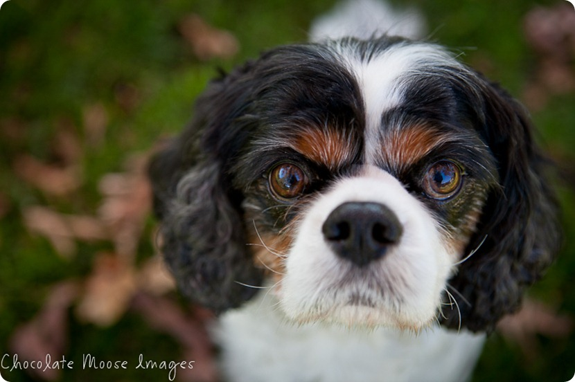 chocolate moose images, pet portraits, minneapolis pet photographer, king charles spaniels, dog portraits