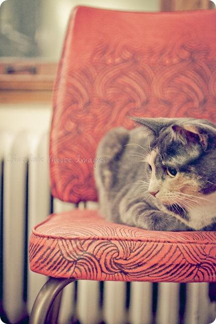 chocolate moose images, pet portrait photography, minneapolis pet portrats, cat portraits,