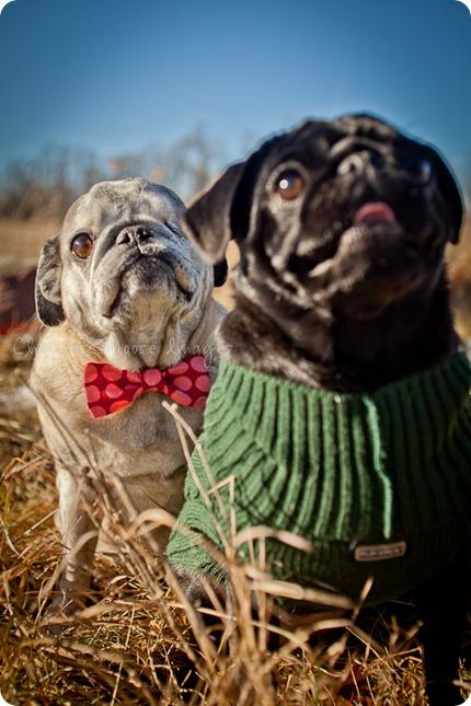 chocolate moose images, pet portaits, dog portaits, pugs, wisconsin pet photography, minneapolis pet photographer,
