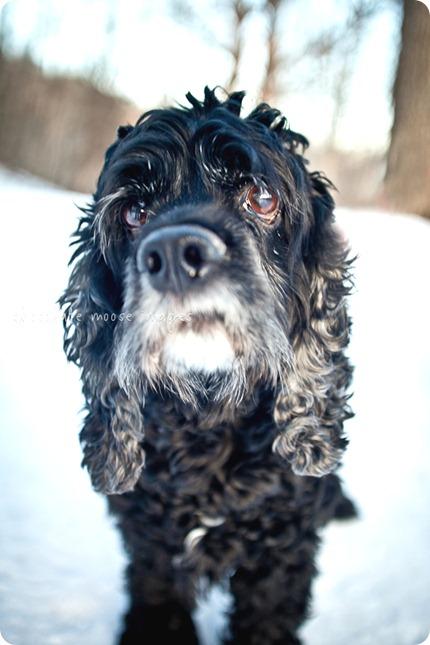 chocolate moose images, minneapolis pet photographer, minneapolis pet portraits, minneapolis pet portrait photographer, dog photography, dog portraits, Wisconsin, minneapolis, cocker spaniel, black dog, old dog