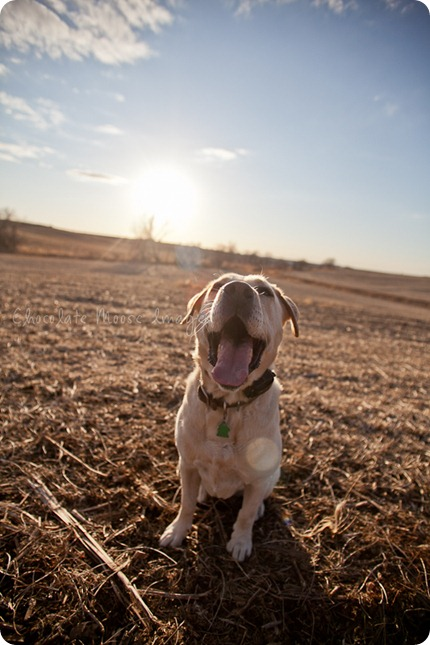 chocolate moose images, roux, pet photography, dog portraits, yellow lab, iowa farm