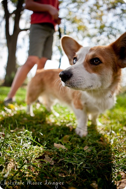 wylie, corgi, minneapolise pet photographer, chocolate moose images. dog portraits, pet photography, iowa, kid and dog