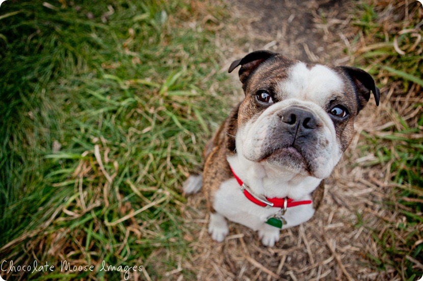 chocolate moose images, pet photos, dogs photo, minneapolis pet portrats, minneapolis pet photographer, minnesota, dog pictures, river valley, miniature bulldog
