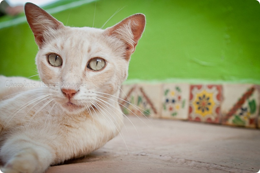 Mexican Beach Cat | chocolate moose images