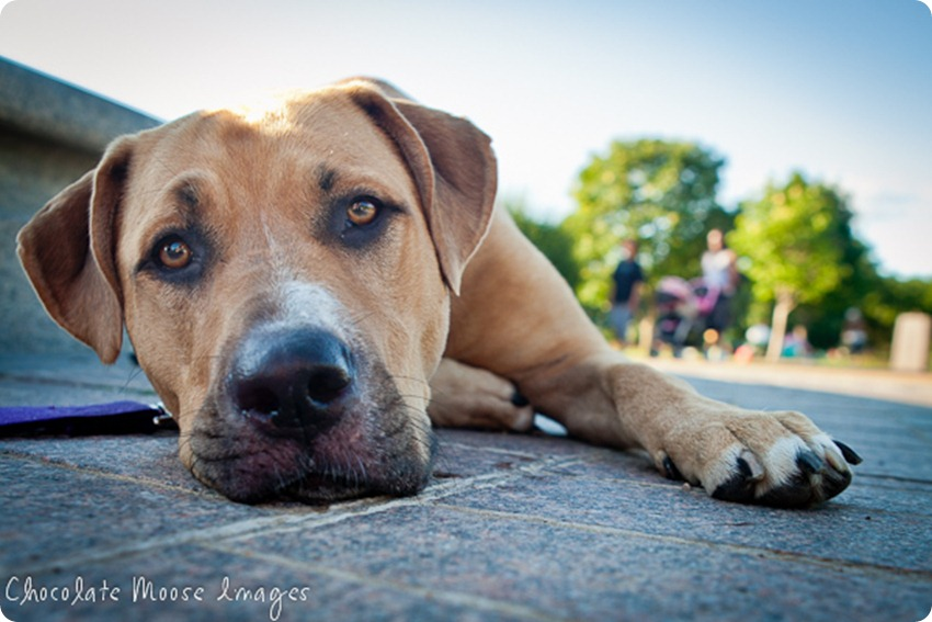 Pit bull, Lilah, poses in front of a fountain at Lake Harriet in Minneapolis on a hot summer night before splashing in the lake to cool this pup down