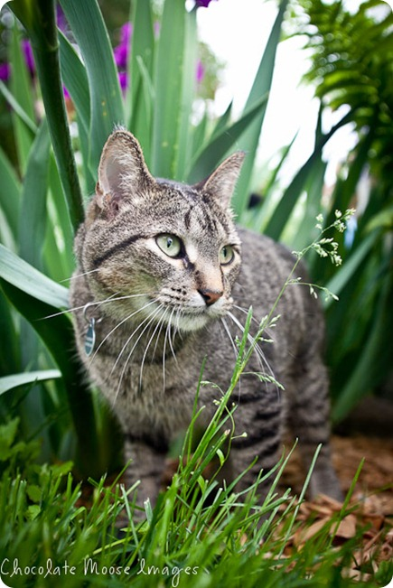 Sigmund, the cat, wanders through the tall grasses and plants during our pet photo shoot trying to figure out an escape route to chase chipmunks