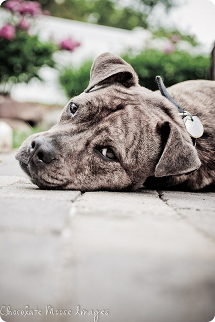 Pit bull, Zeus, relaxes on the patio during out pet photo shoot, making it easy to grab a few fantastic shots