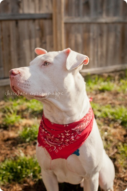 Sawyer, a white pittie, is up for adoption at the MN Pit Bull Rescue