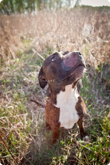 Mae, a pit bull available for adoption from MN Pit Bull Rescue, has found her forever home!