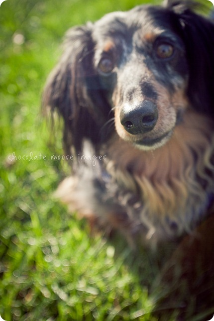 2 lovely, scruffy dachshunds posed for Chocolate Moose Images earlier this spring out in River Falls, WI