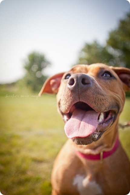 Sandy, from the MN Pit Bull Rescue has her adoption photos taken by Chocolate Moose Images