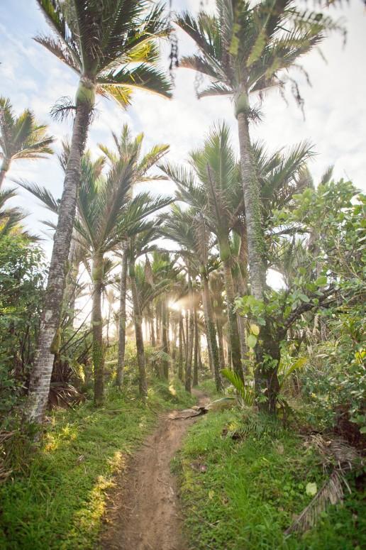 Nikau Palms on the Heaphy Track, New Zealand | © Chocolate Moose Images